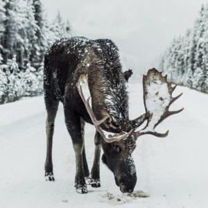 The North Totum Animal Moose